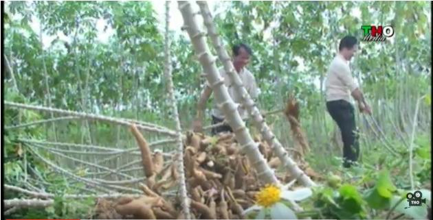 Nhà máy chế biên tinh bột sắn Phúc Thịnh chia khó cùng nông dân